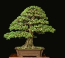 RAF Dwarf Scots Pine