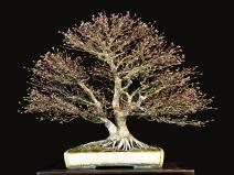 Kashima Japanese Maple