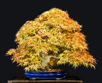 Seigen Japanese Maple- autumn