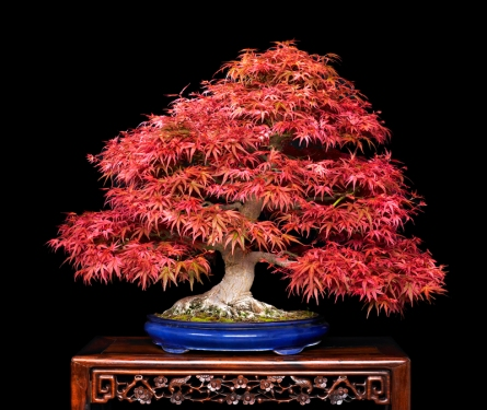 Seigen Japanese Maple- spring