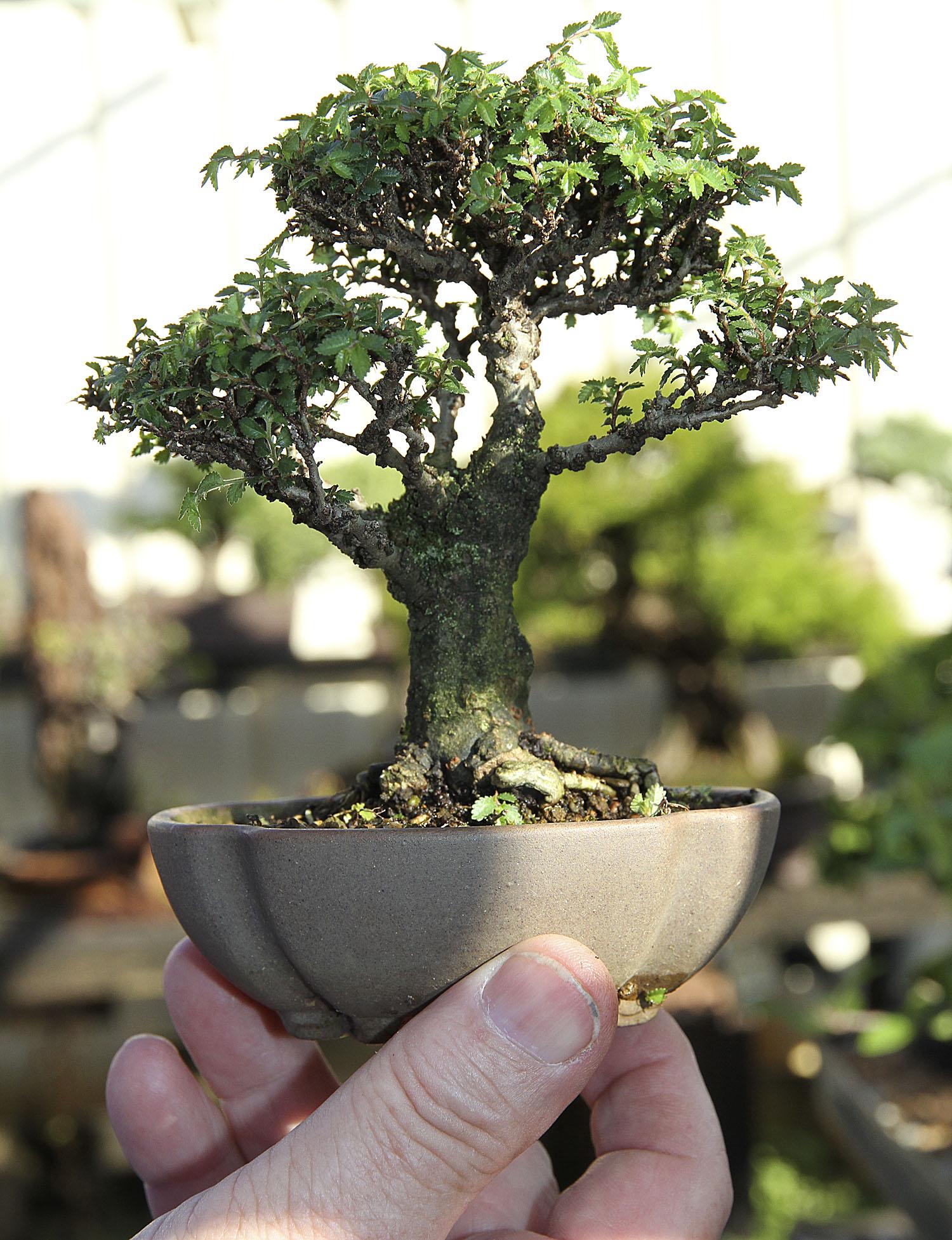 Bill jumps a broad part 5 valavanis bonsai blog for Bonsai italia