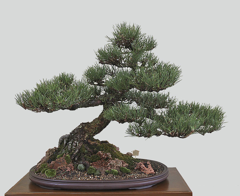 Japanese Black Pine - Tits Blowjob