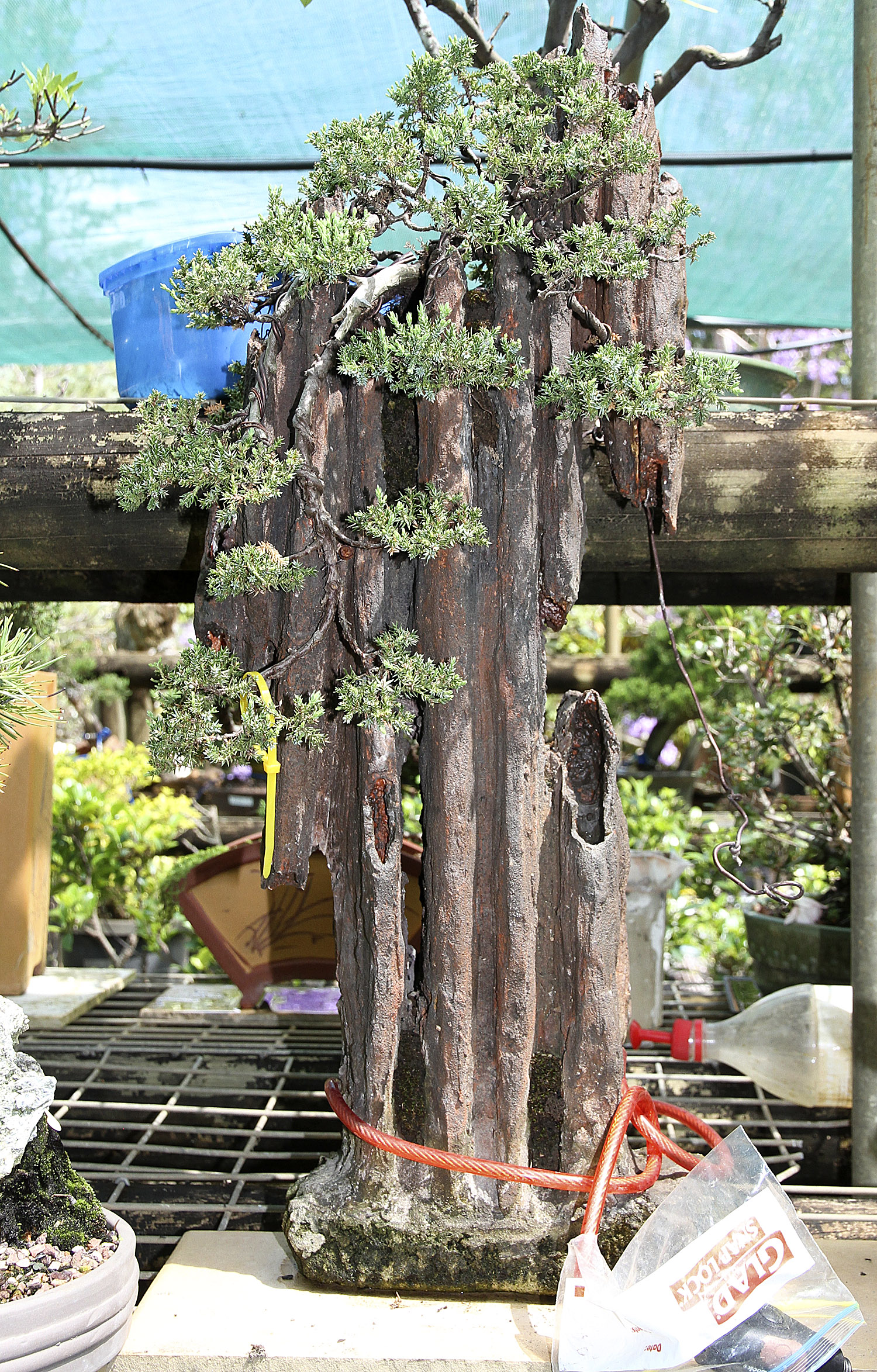 Bill Jumps A Broad Down Under Part 3 Valavanis Bonsai Blog Wiring Styles Theft Is Problem With Growers Around The World Carole Has Minimized By Each To Stand Using Bicycle Or Motorcycle