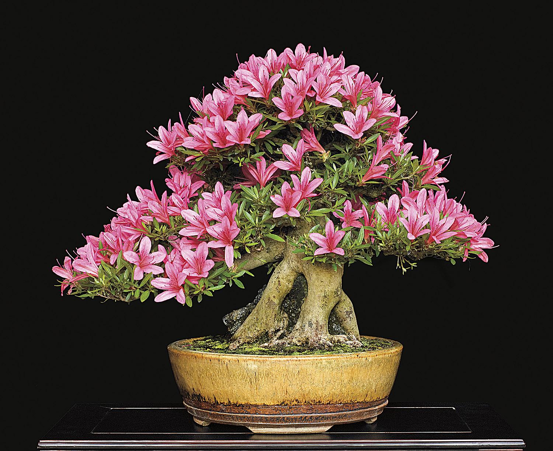2014 satsuki bonsai tour valavanis bonsai blog for Bonsai de jardin