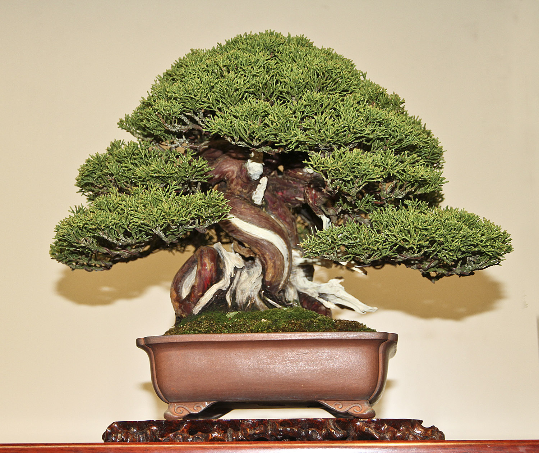 Бонсай из хвойных деревьев