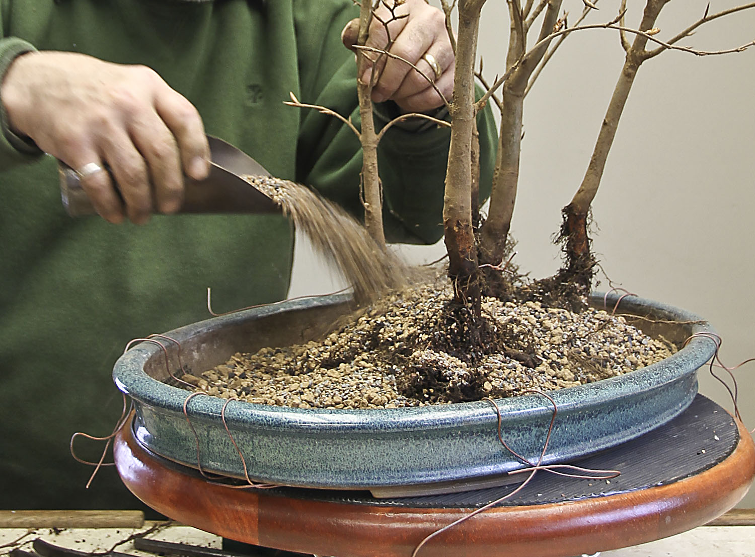 creating a beech forest bonsai valavanis bonsai blog rh valavanisbonsaiblog com Bonsai Wiring Tips Bonsai Silhouette