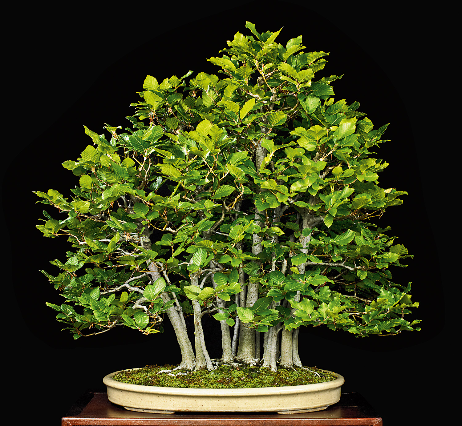 Creating A Beech Forest Bonsai Valavanis Blog Wiring Lesson Are Highly Prized For Because Of Their Characteristic White Bark Beautiful Foliage Winter Hardiness And Easy Training