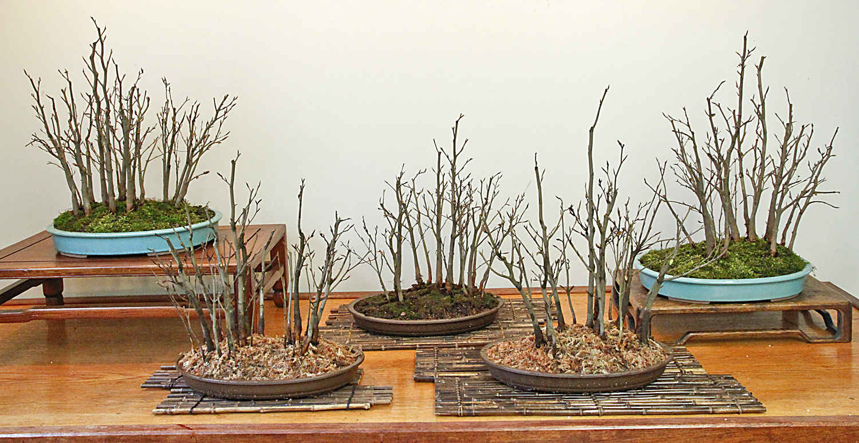 Creating a beech forest bonsai valavanis bonsai blog for How to make an olive tree into a bonsai