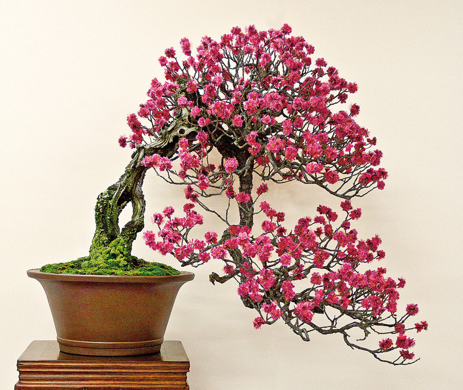 japanese quince symbolism Symbolism of flowers and fruit in chinese art with entries for peonies, persimmons, plums, apricots, lotuses and many others.