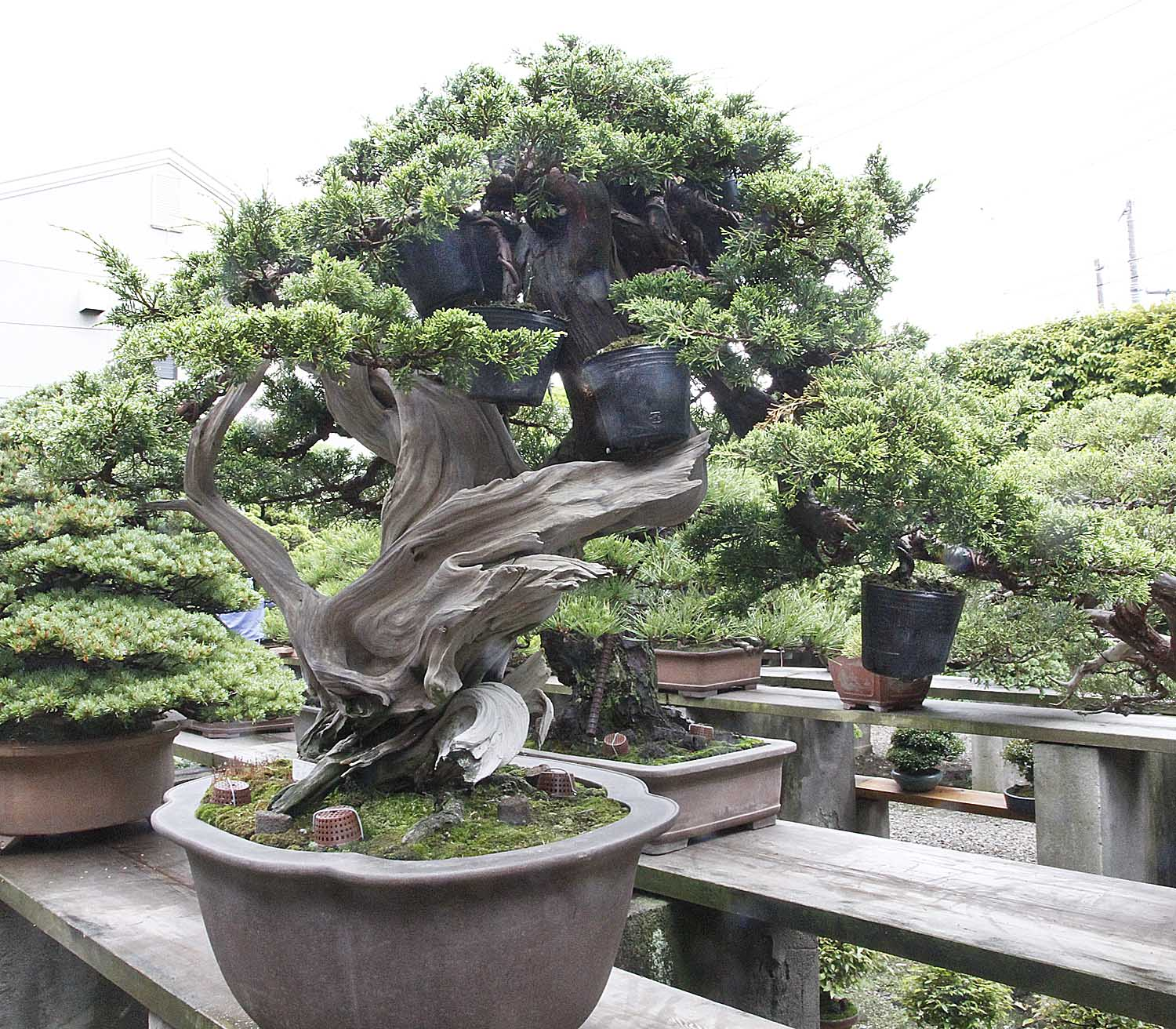 Japan satsuki bonsai tour part 2 valavanis bonsai blog - Bonsai zimmerpflanze ...