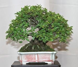 12 SHOHIN ELM TREE