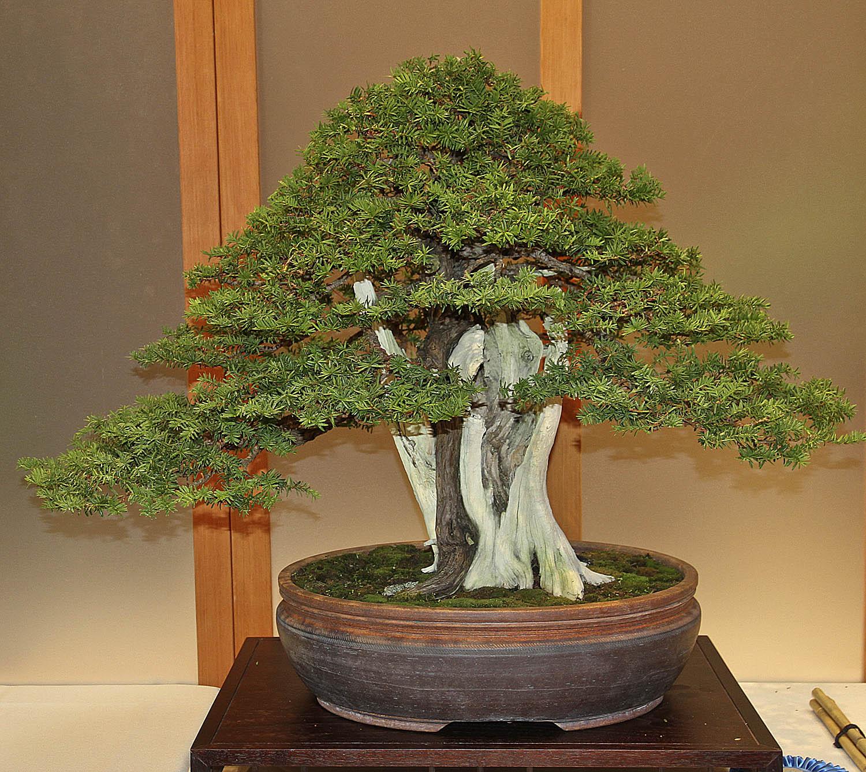 2014 Midwest Bonsai Exhibit Down Under Bonsai