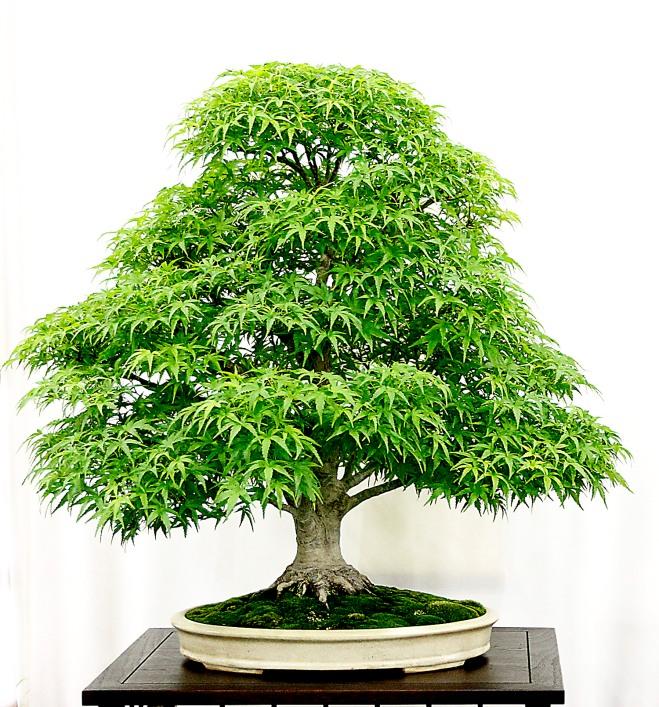 les cultivars d rables japonais en bonsa parviflora bonsa. Black Bedroom Furniture Sets. Home Design Ideas