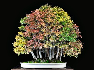 CHINESE ELM 2008
