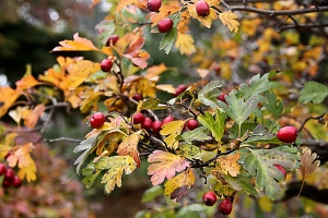 FRUIT HAWTHORN