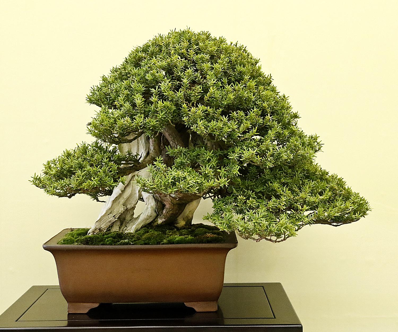 Japanese Yew Bush