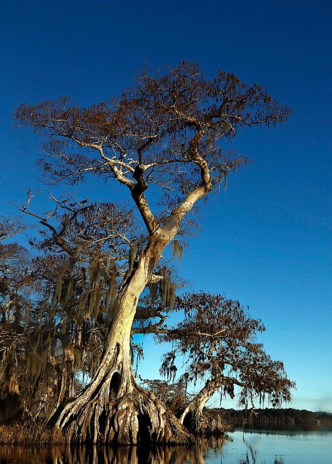 Visiting Ancient Florida Bald Cypress Valavanis Bonsai Blog