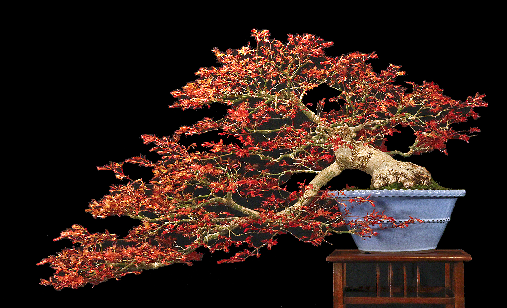 spring beauty at the international bonsai arboretum bonsai wiring pseudocydonia sinensis bonsai wire how to