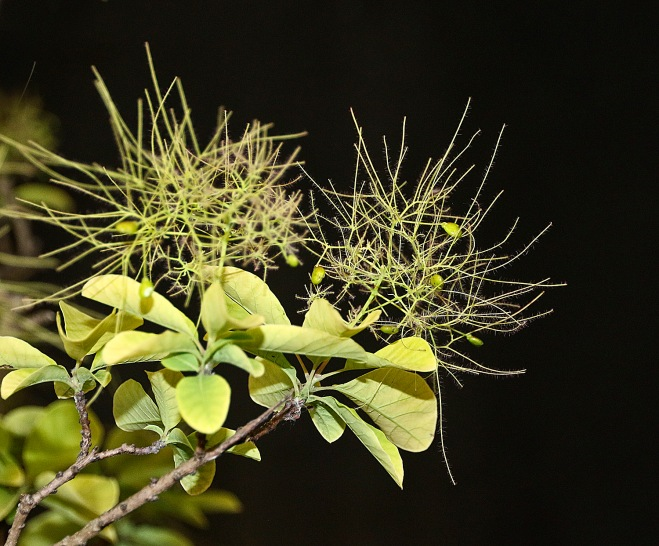 SMOKE TREE FLOWERS