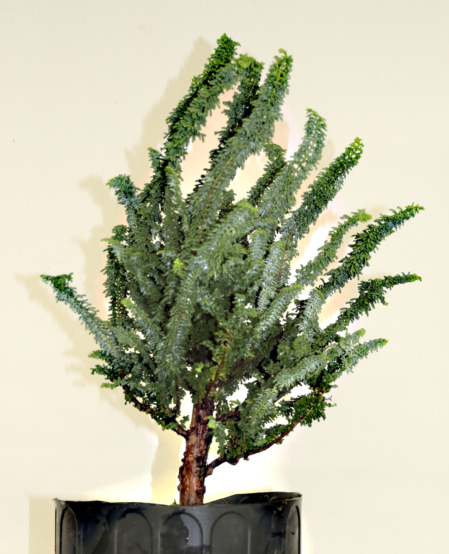 Bonsai Tree 15 Modern Hinoki Cypress Bonsai For Sale Pictures
