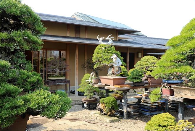 too many branches an early spring visit to omiya bonsai village valavanis bonsai blog