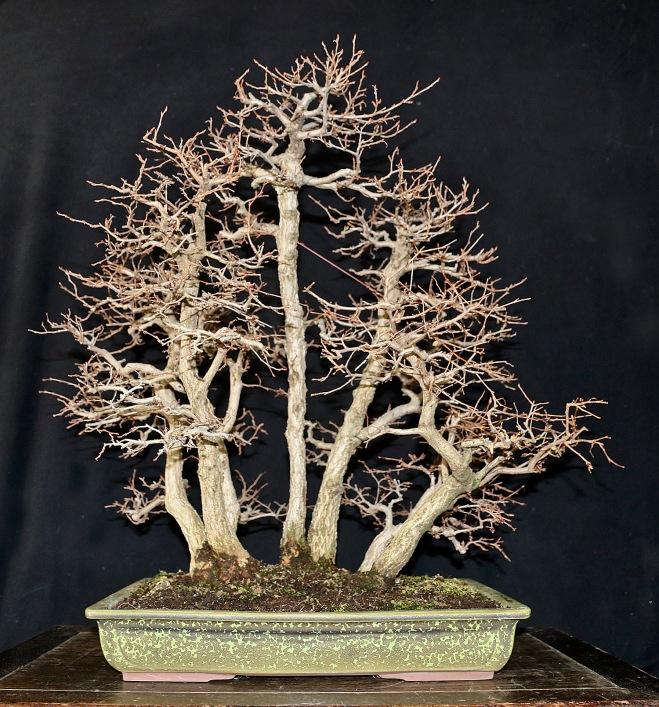 7-tree-korean-hornbeam-forest
