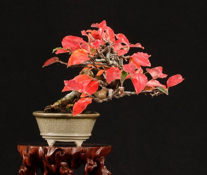 CHINESE QUINCE HC.jpg