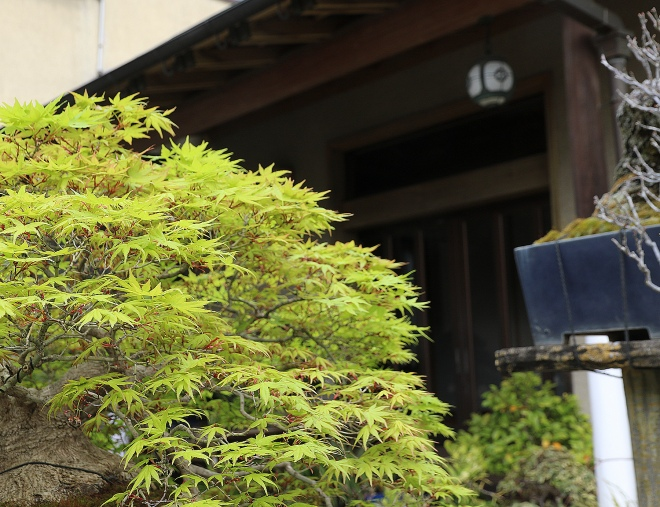 green-maple