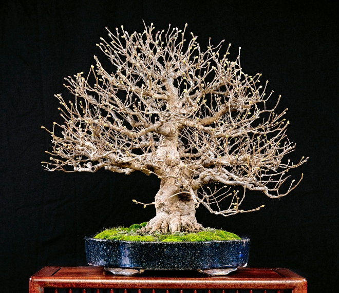 winter-hazel-bonsai
