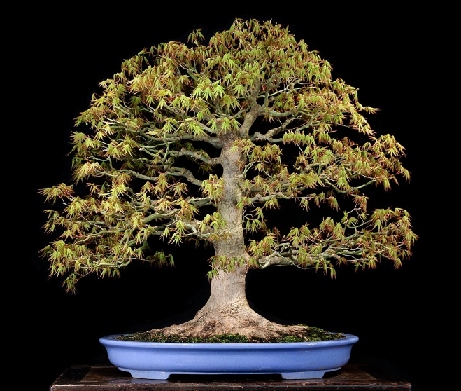 JAPANESE MAPLE FRONT