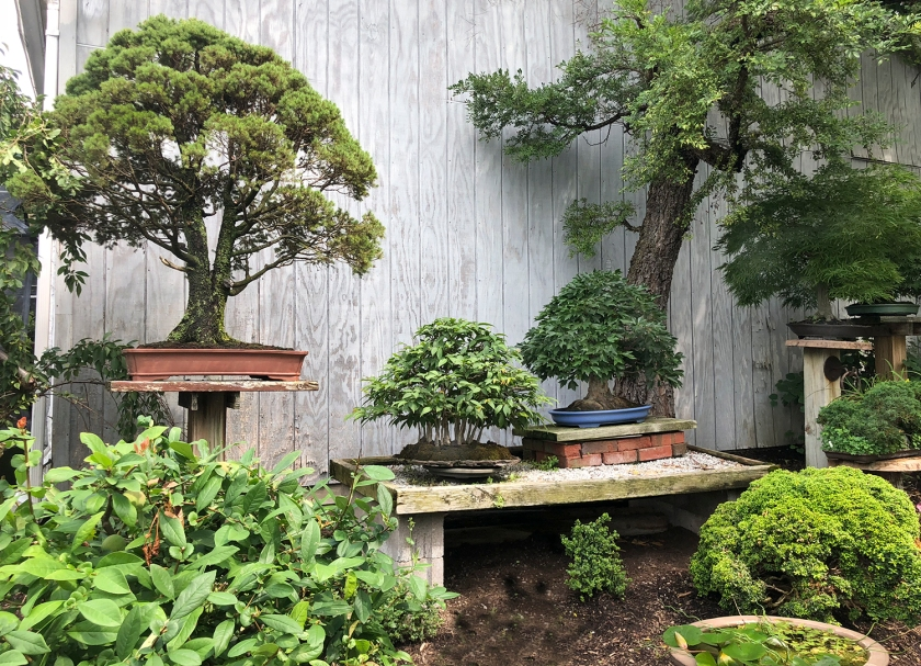 AUCTION BONSAI