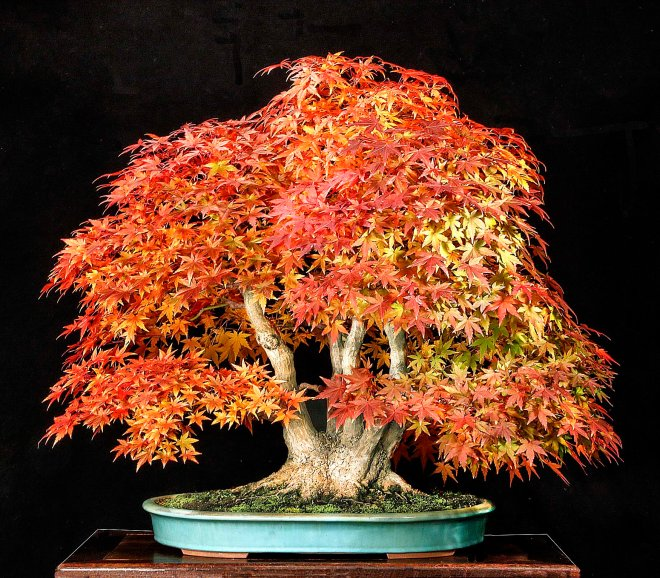 JAPANESE MAPLE 2015