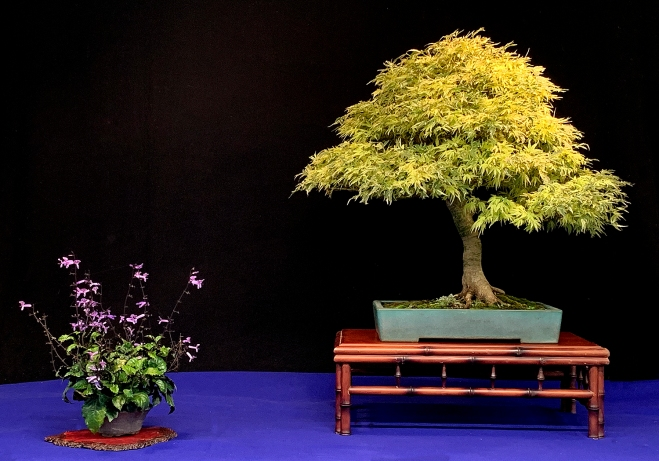 BUTTERFLY MAPLE DISPLAY.JPG
