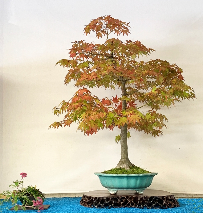 JAPANESE MAPLE DISPLAY.JPG