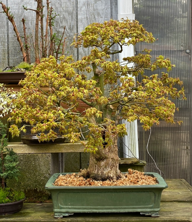 DWARF MAPLE